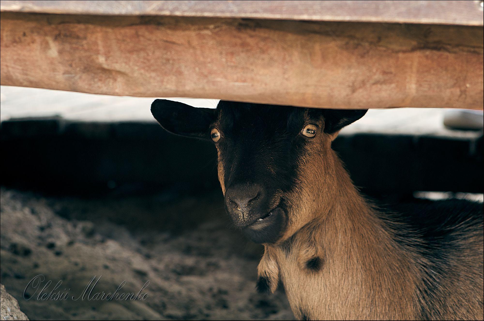 На фото не вівця, але в даному випадку... Фото www.buddha.net.ua